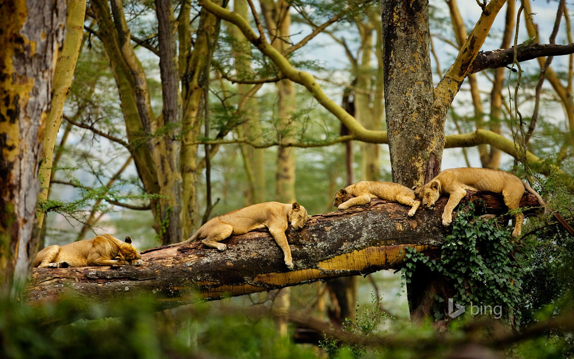 Cute Lions Sleeping Picture