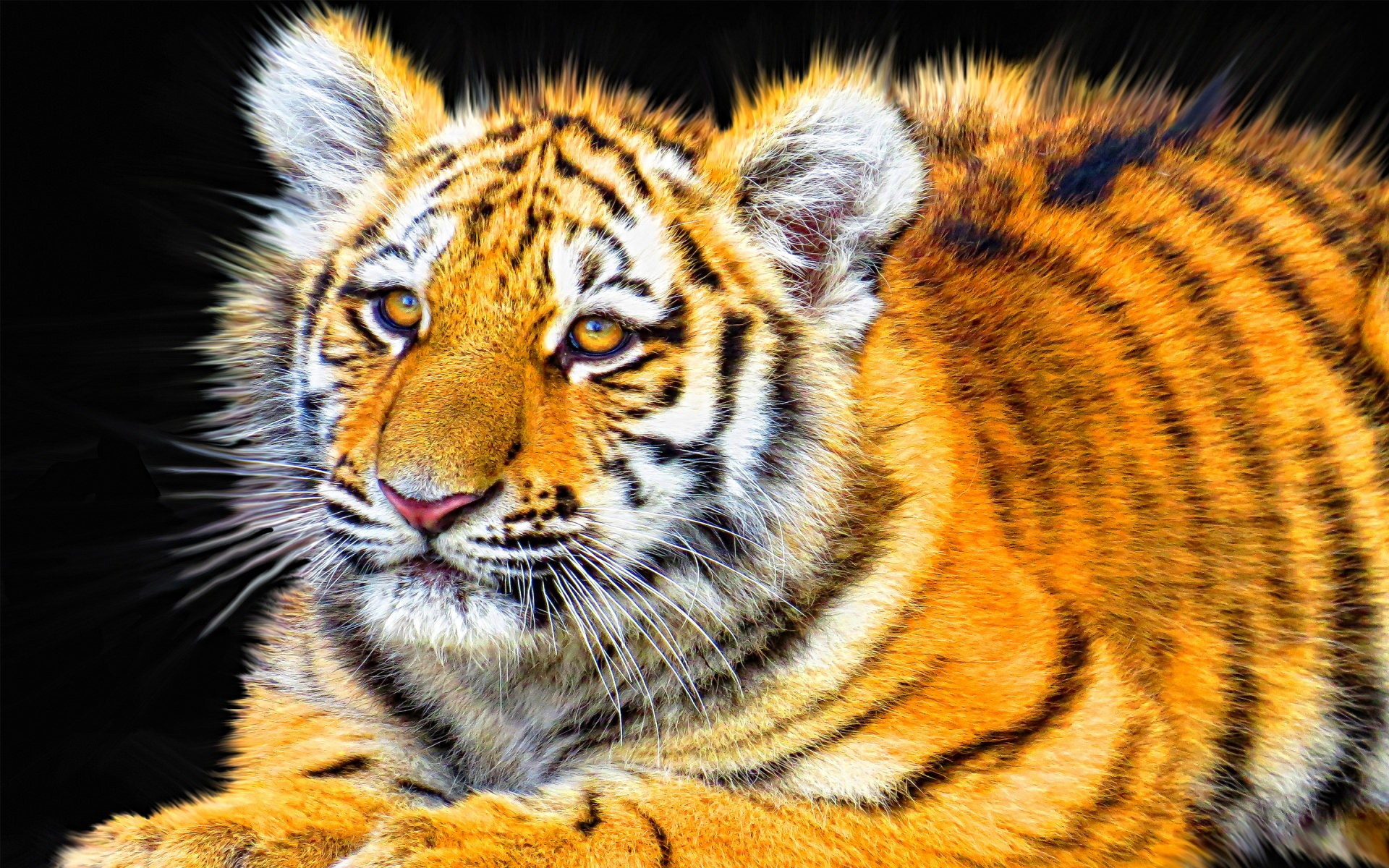 Angry Tiger Cub Background