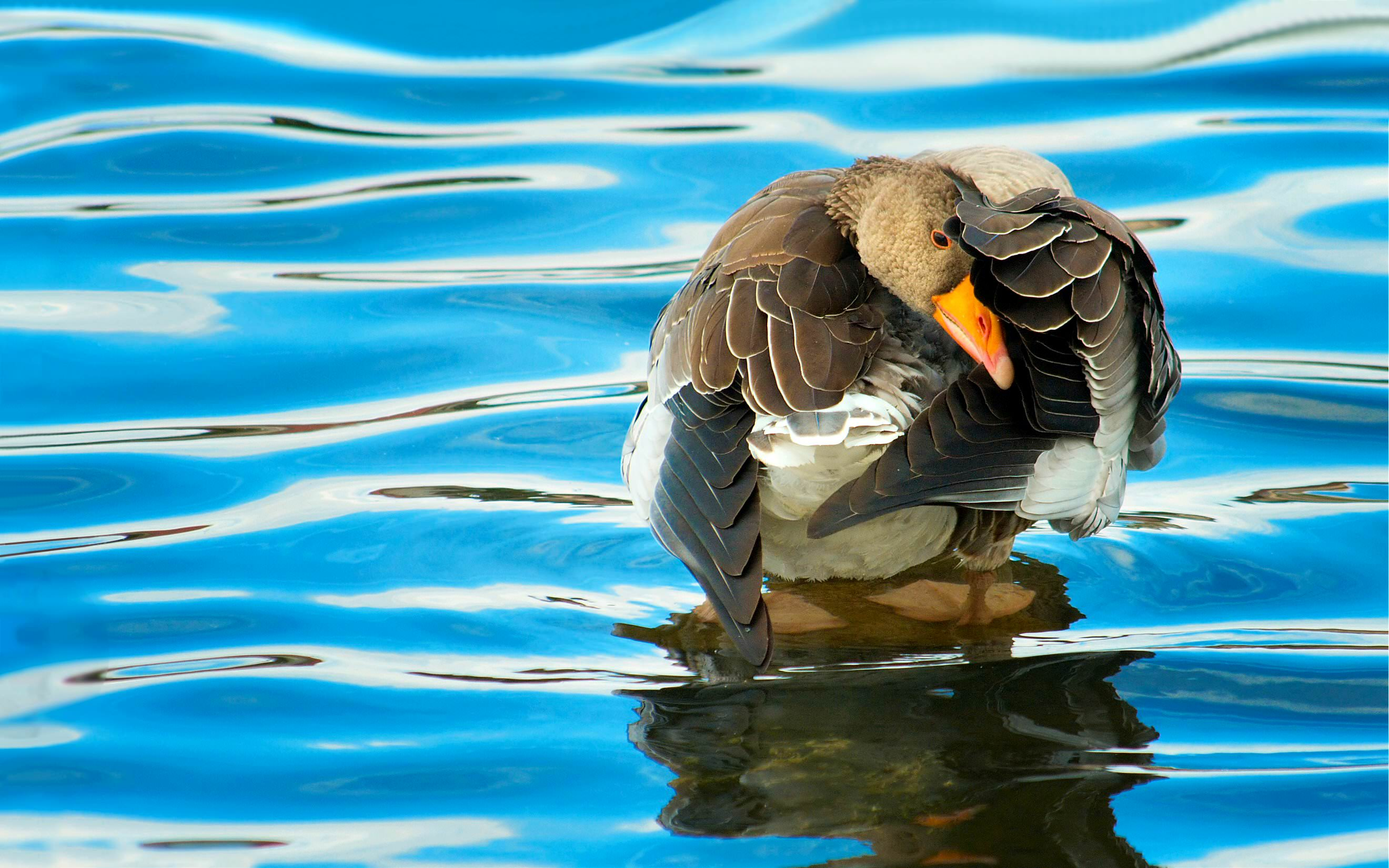 Duck Goose with Reflection of Blue Water Image