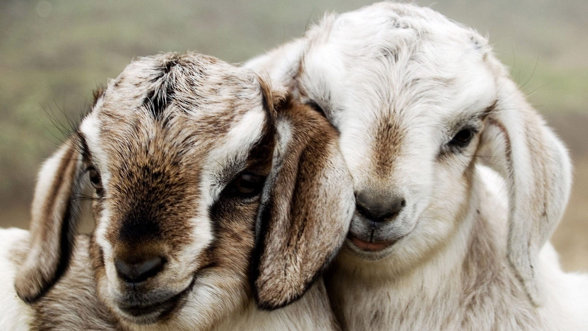 Beautiful Couple Lambs Background