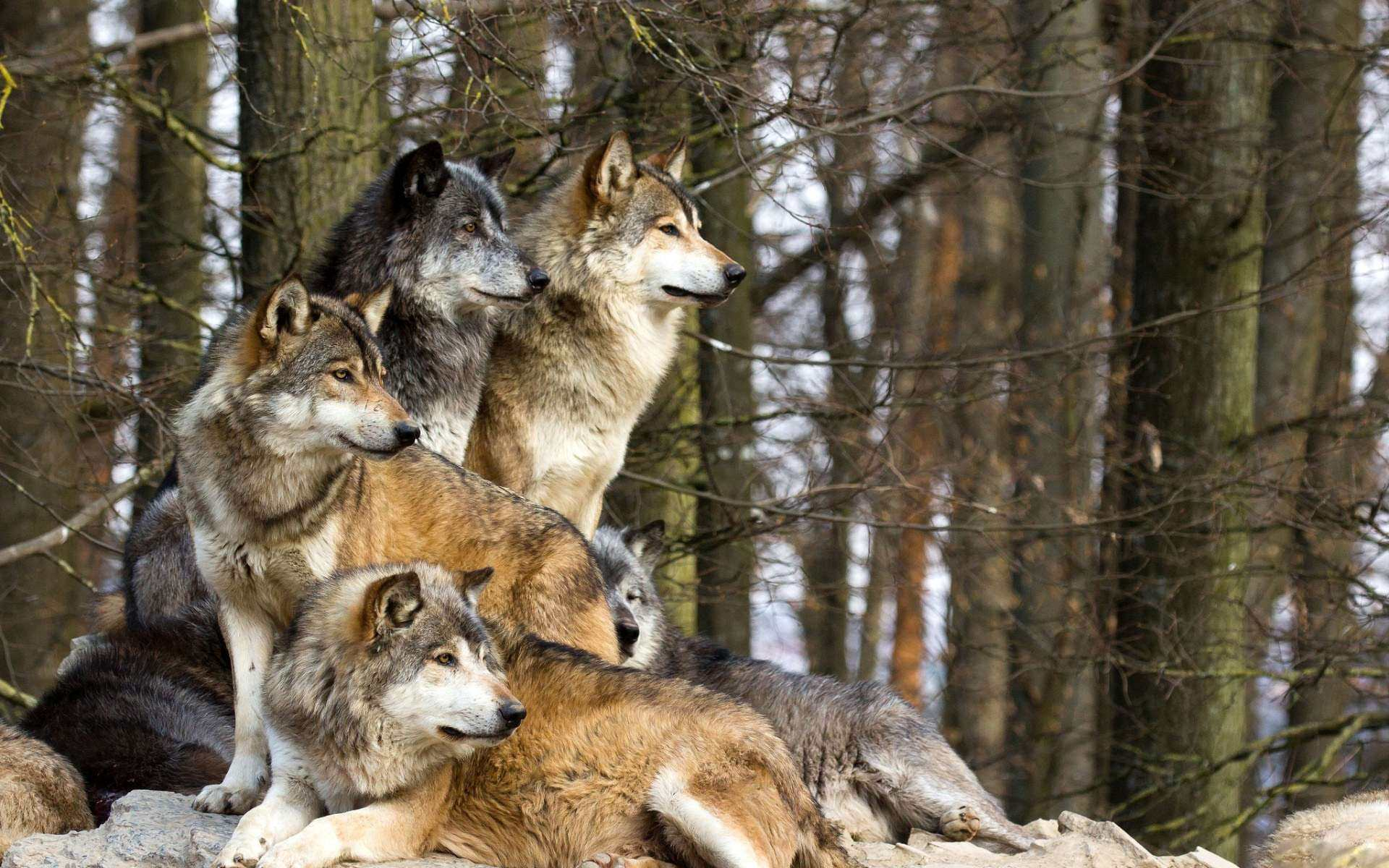 Group of Waiting Wolfs Picture