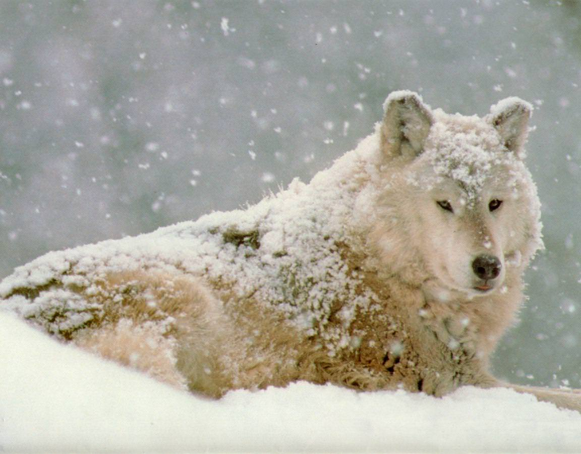 Awesome Wolf with Snow Rain Picture