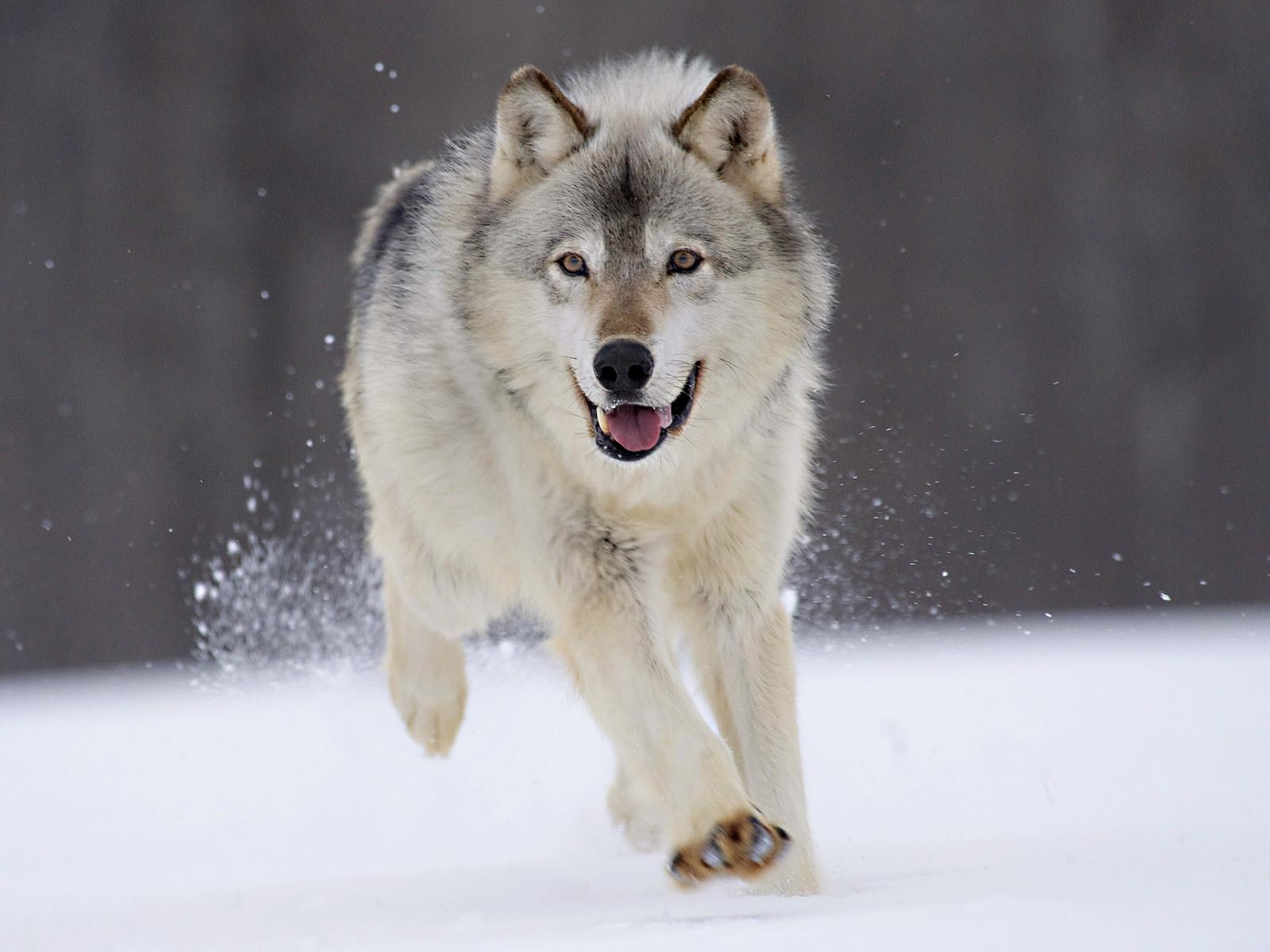 Running Wolf Amazing Wallpaper