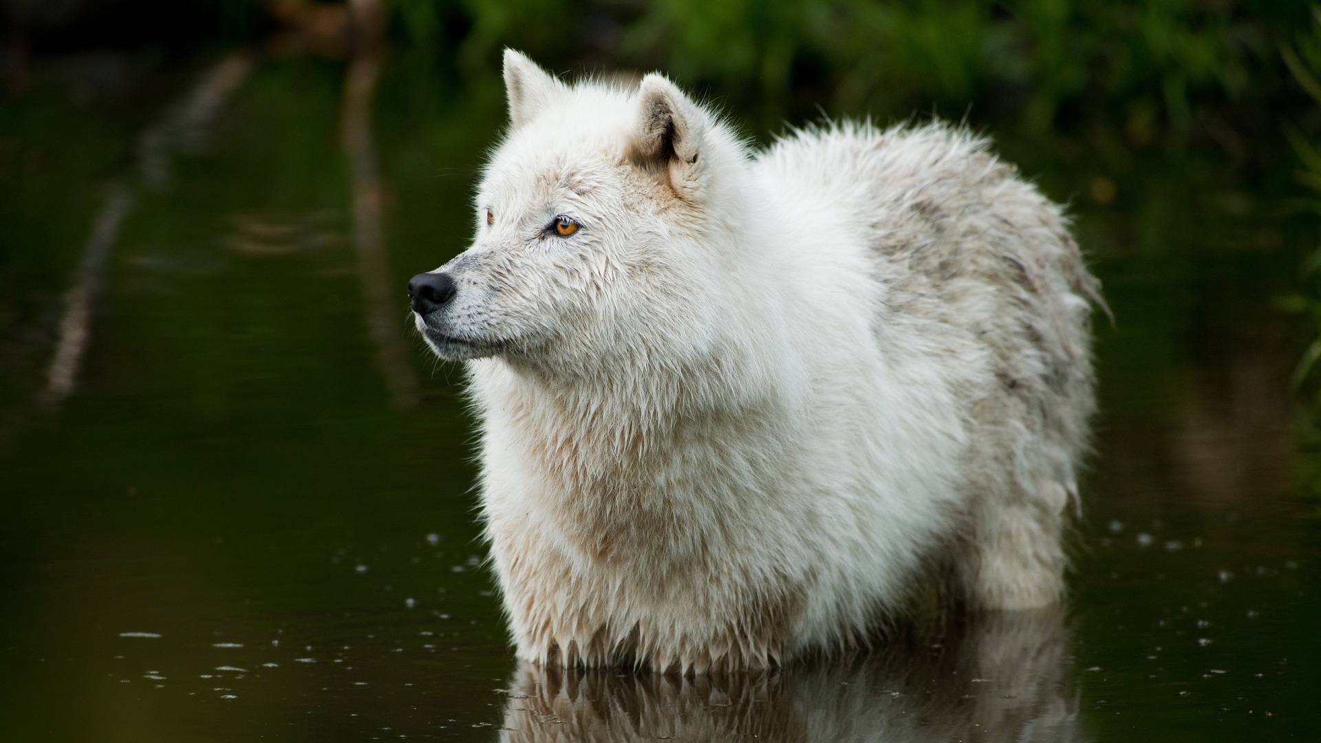 Wolf in Water Background