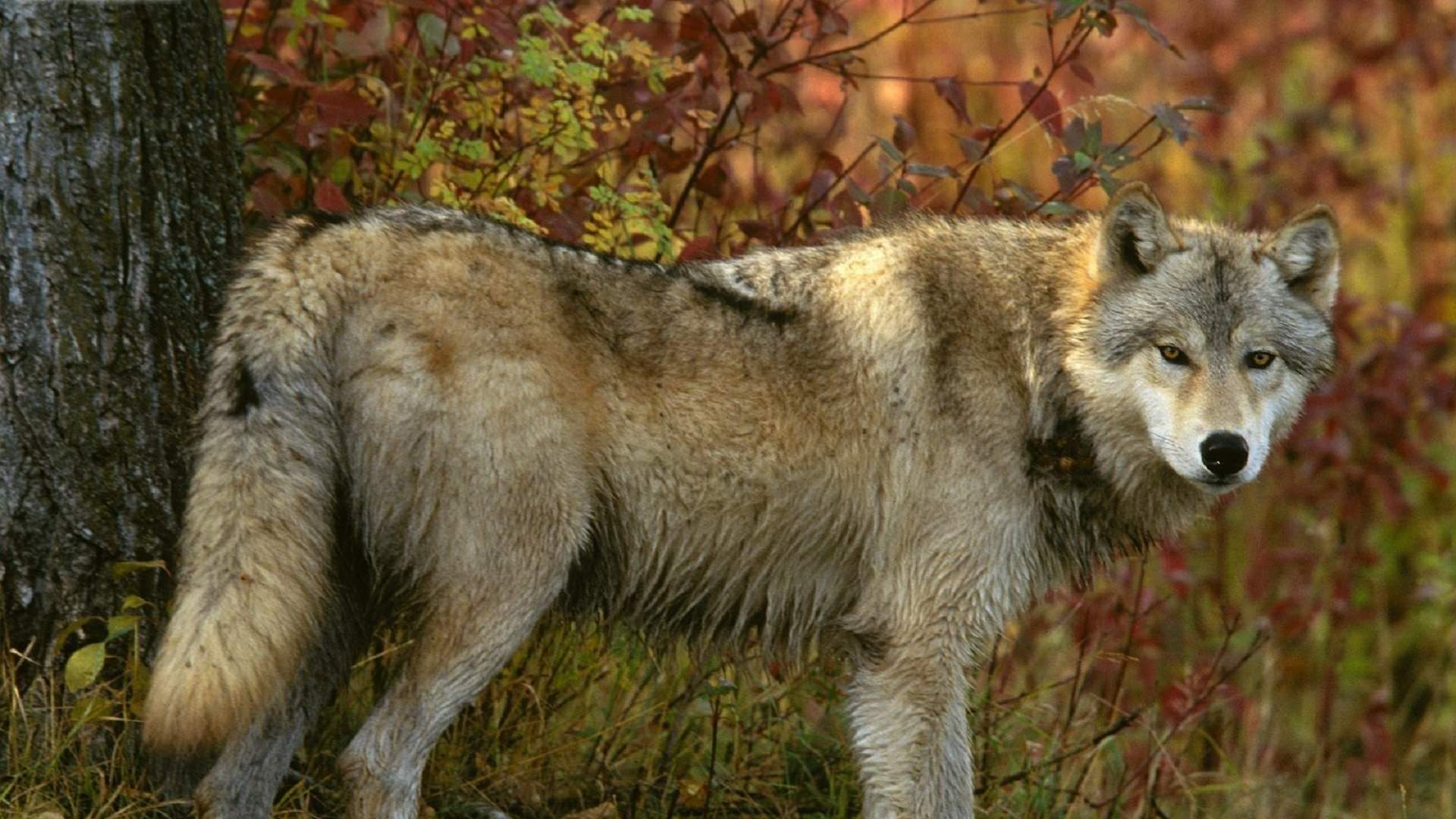 Wolf Forest Predator wallpaper