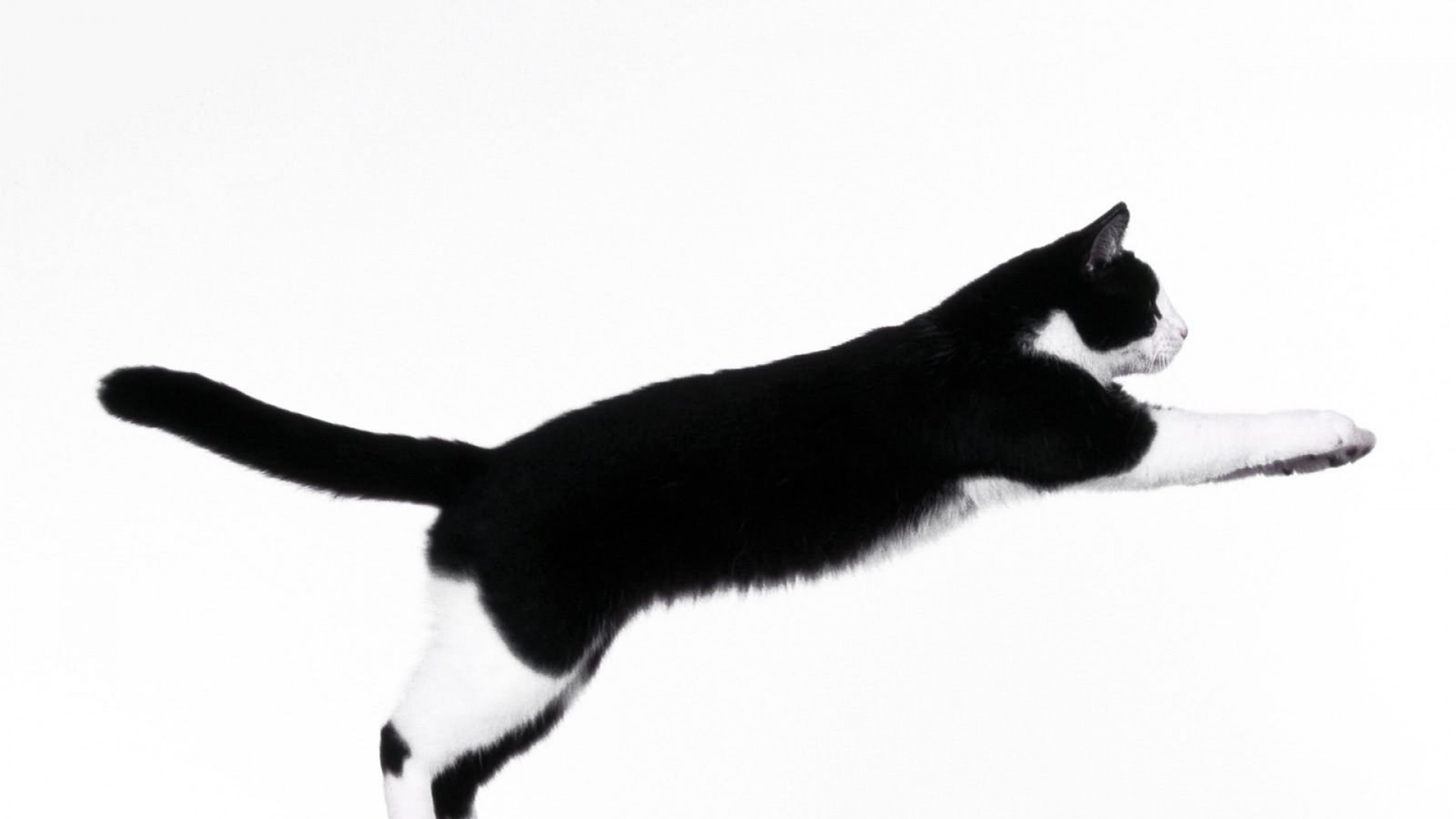 Jumping Cat Awesome Picture