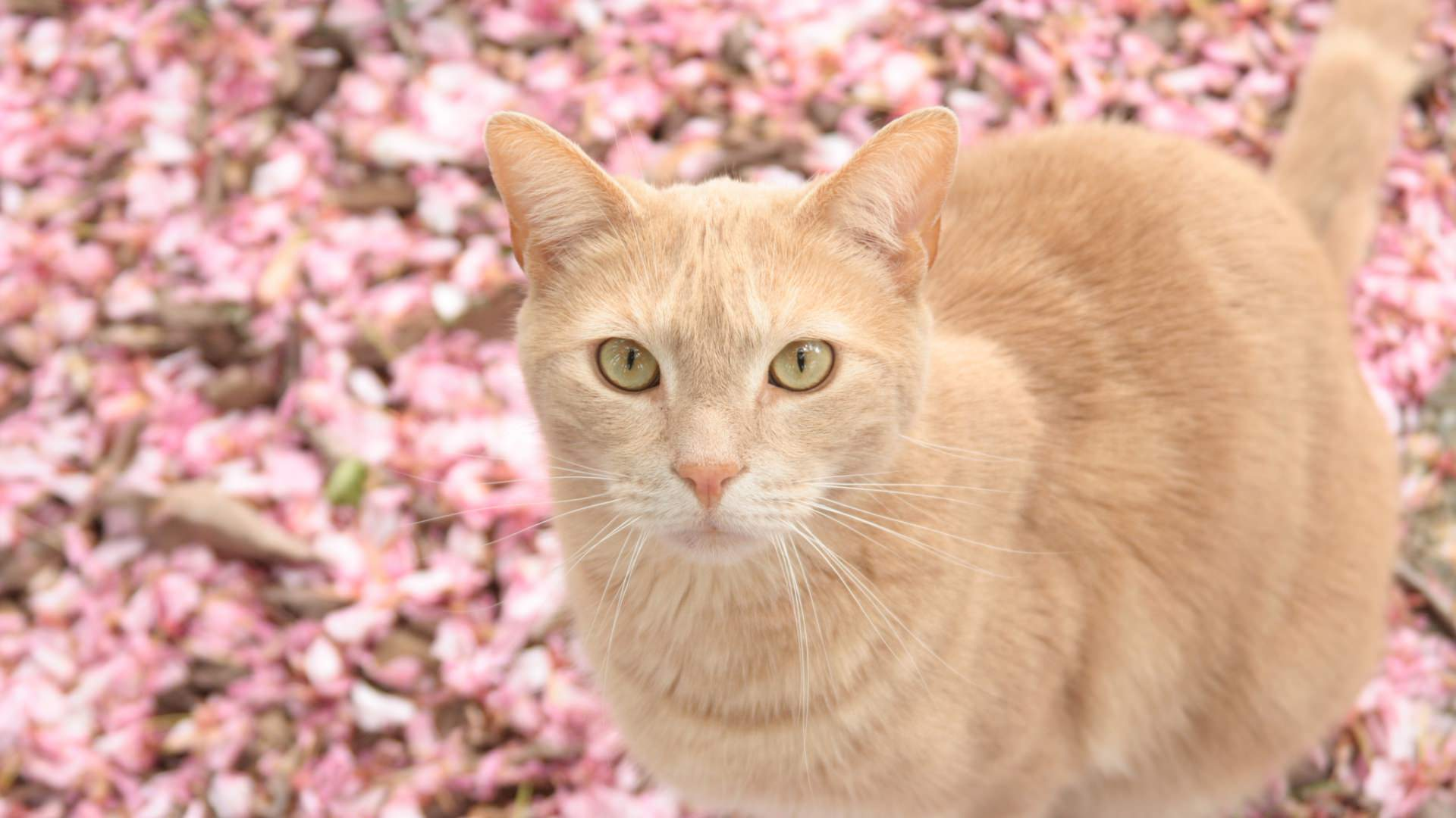 Cat with Red Blur Petals Background