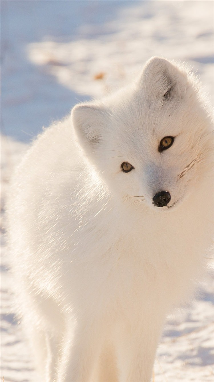 Image of: Iphone Winter Animal Fox White Iphone Designtrends 119 Iphone Backgrounds Wallpapers Images Pictures Design