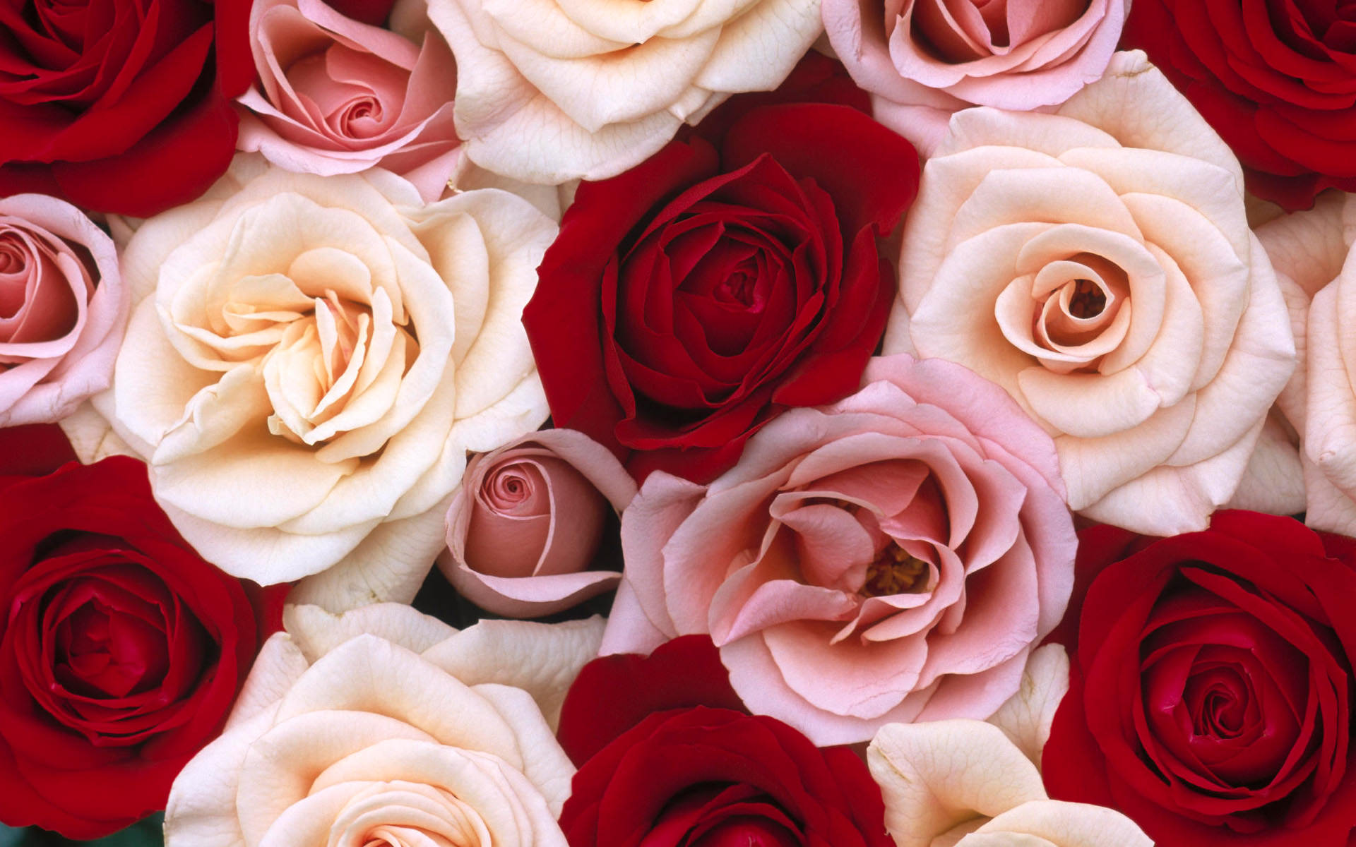 red and white rose background