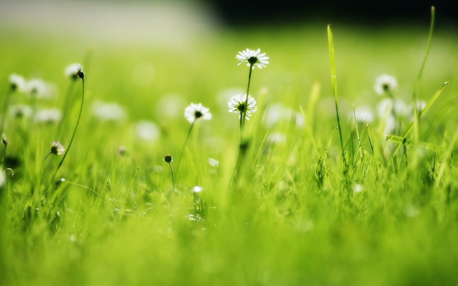 Green Grass with Daisy Nature Wallpaper