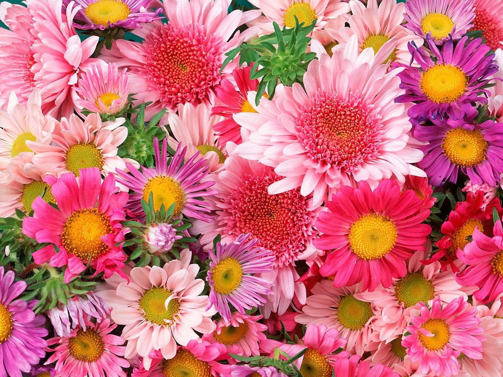 Gerbera Pink and Violet Daisy Flowers Background