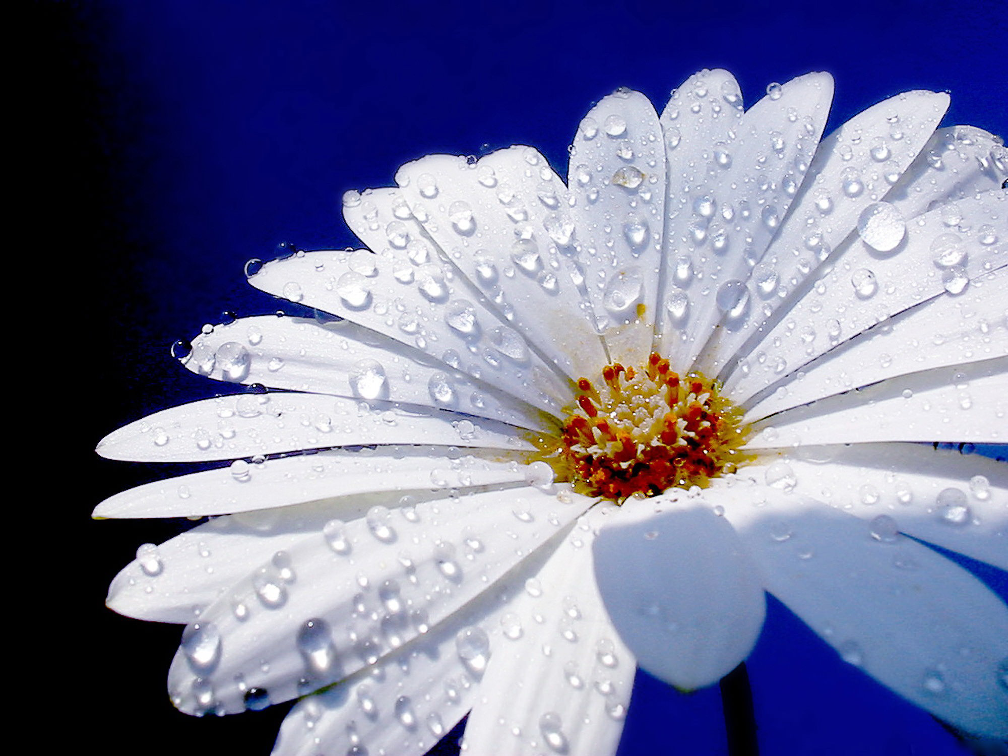 White Daisy with Water Drops Wallpaper