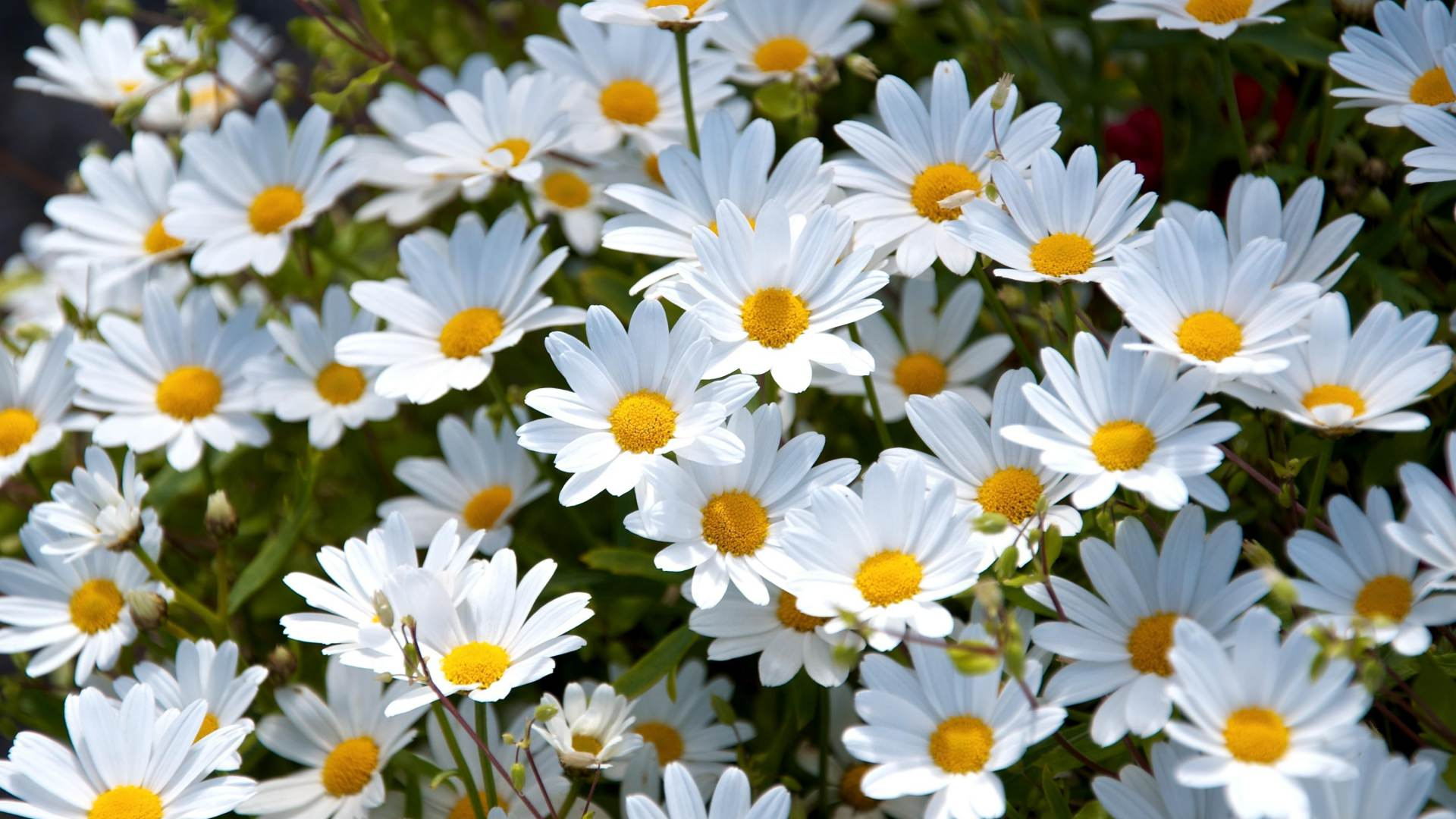 Coll White Daisy Flowers Background