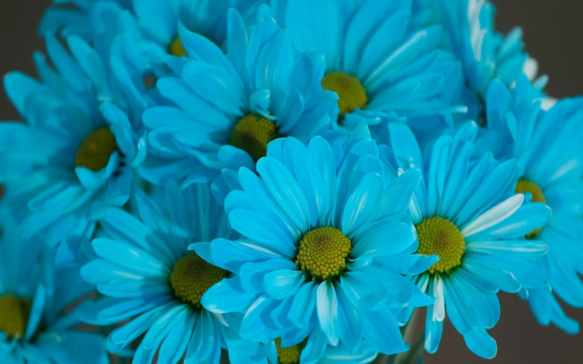 Wonderful Blue Daisy Background