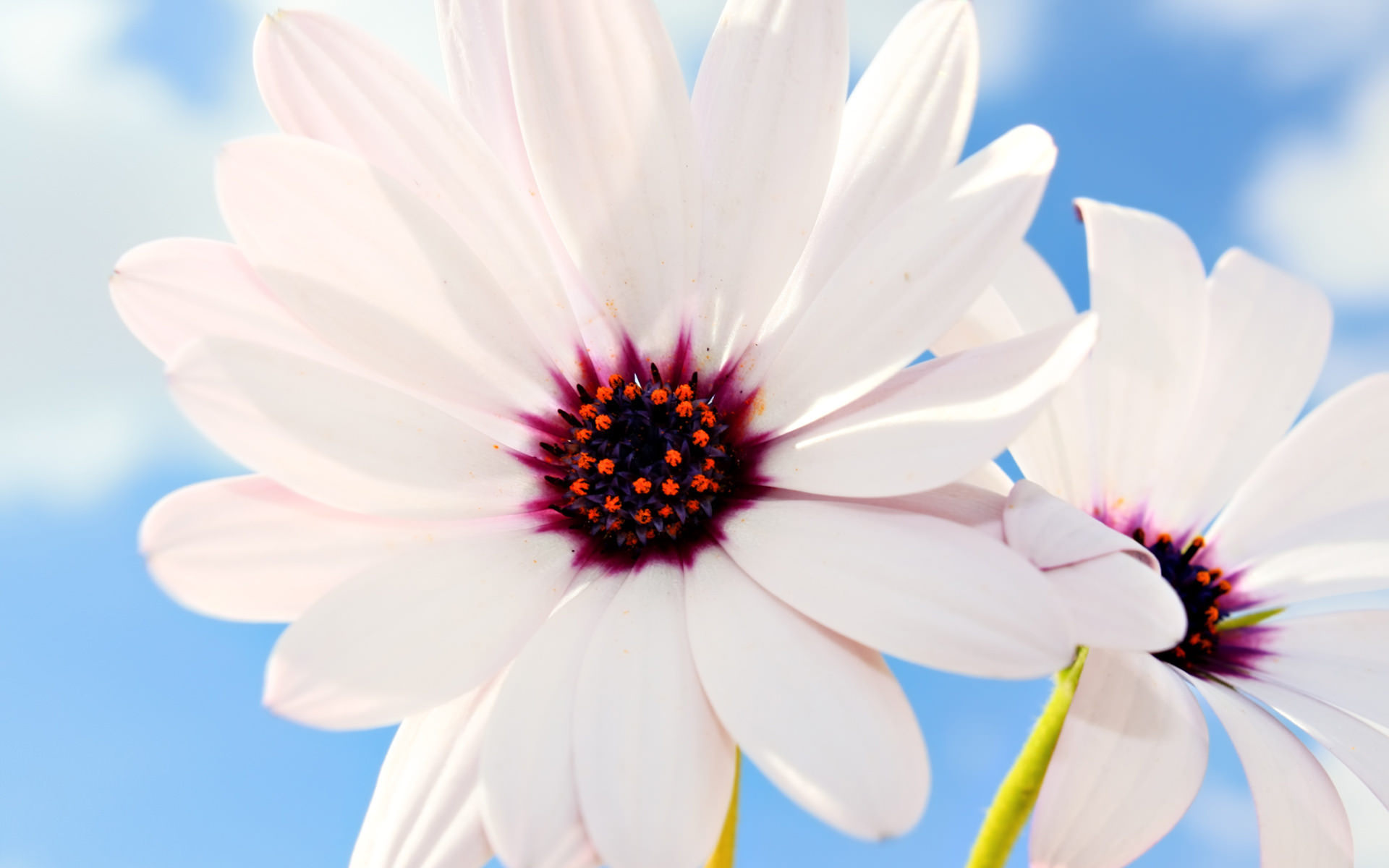 Light Pinked Daisy Flower Best Wallpaper