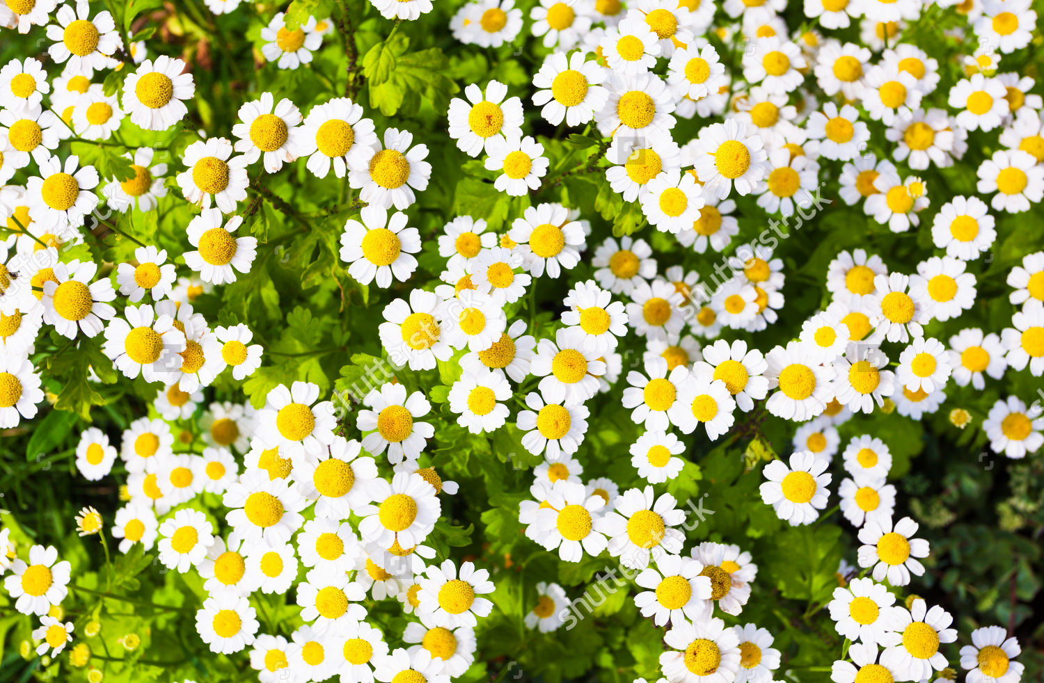 Attractive Daisies Background