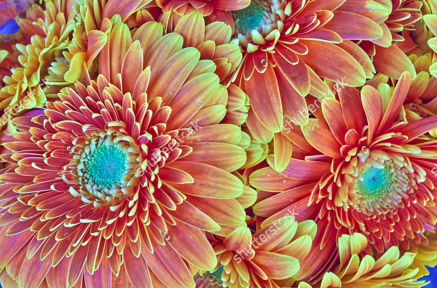 Orange Gerber Daisies Background