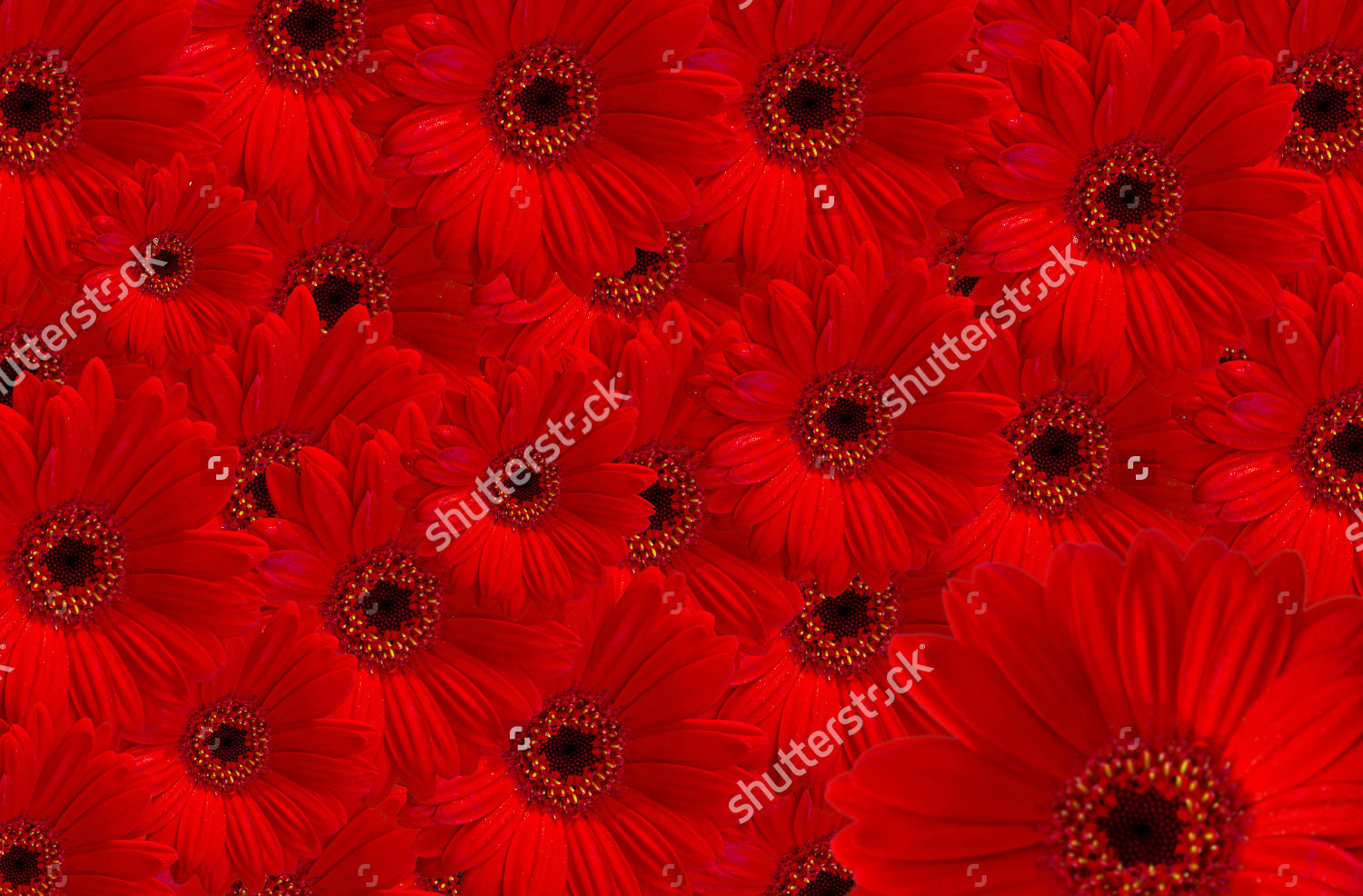 Red Garbera Flowers Background Design