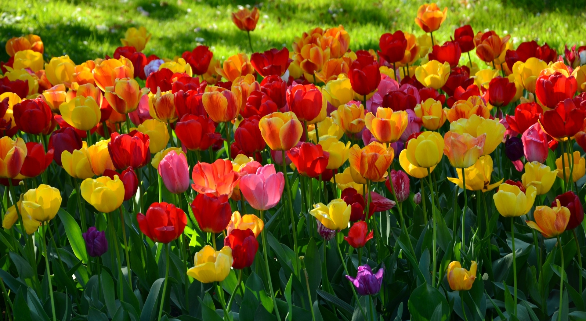 tulips wallpaper1