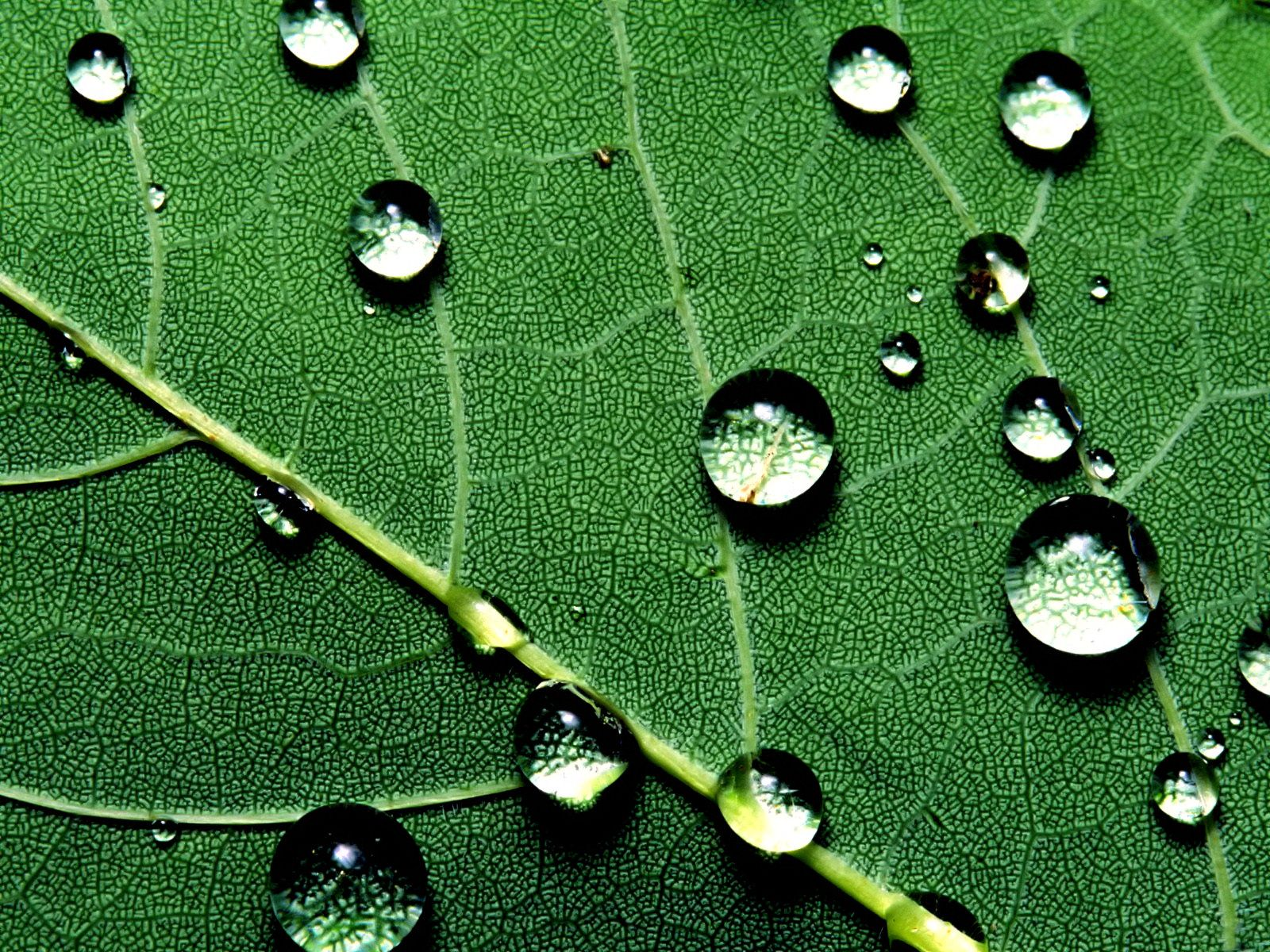 Water Drops Leaf Wallpaper