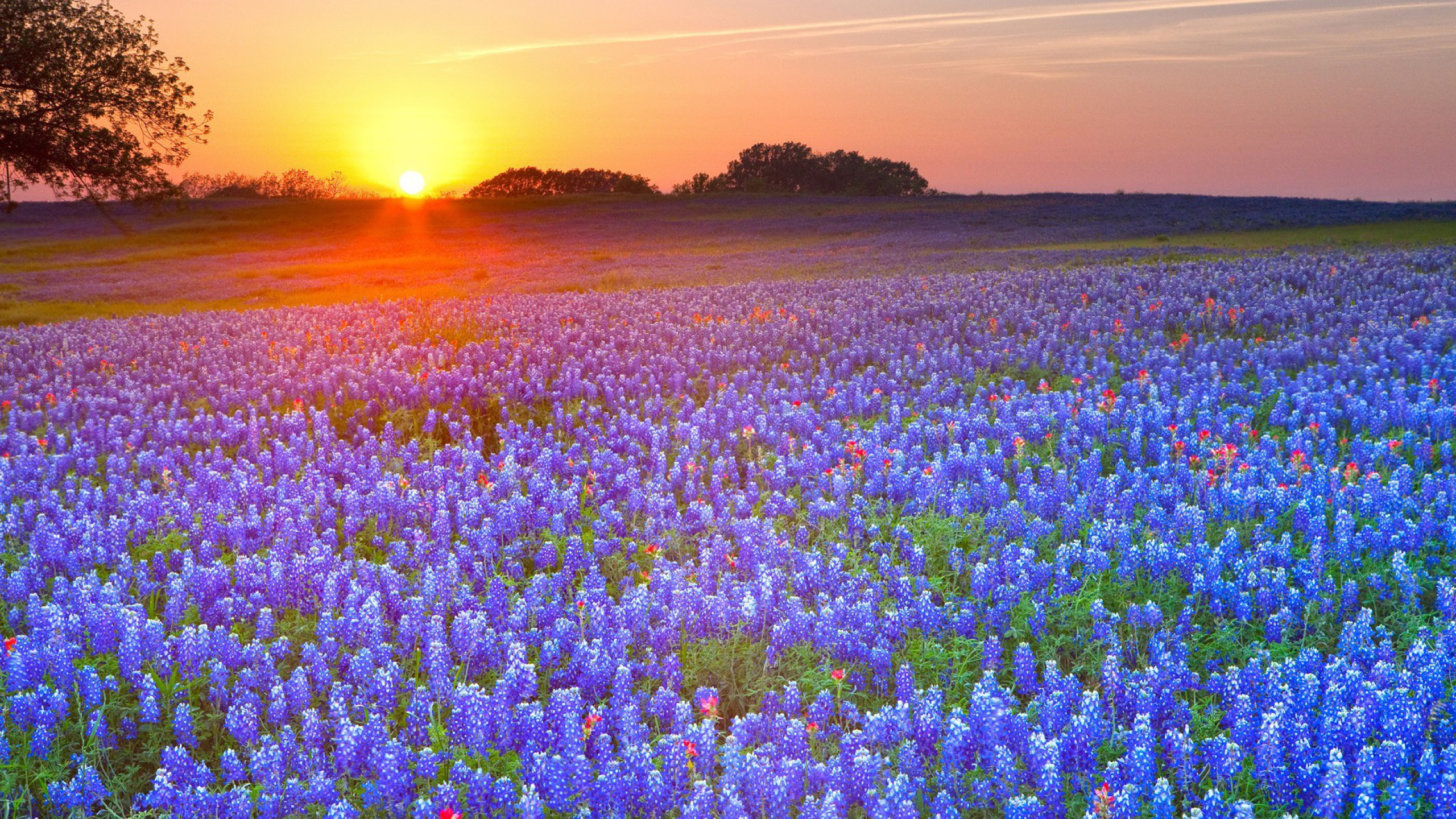 Texas Bluebonnets Wallpaper