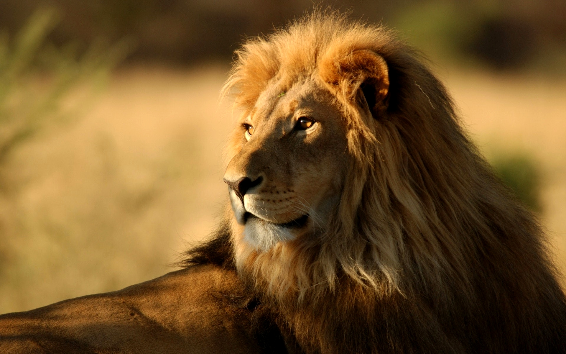 Animal Lion Free Wallpapers