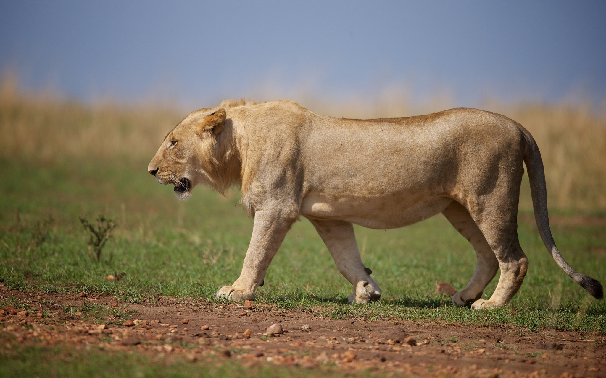 Predator Lion Pictures