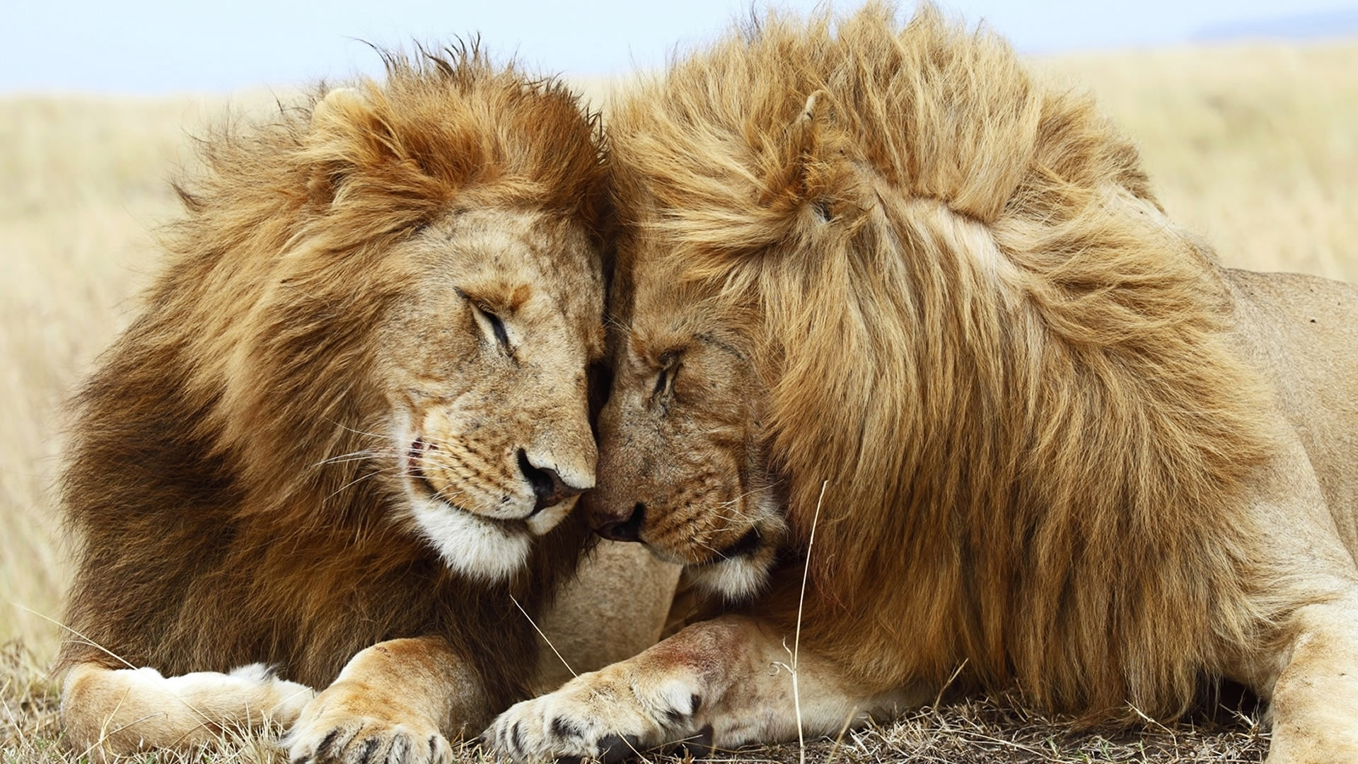 Lion Couple Mane Rest Background Images