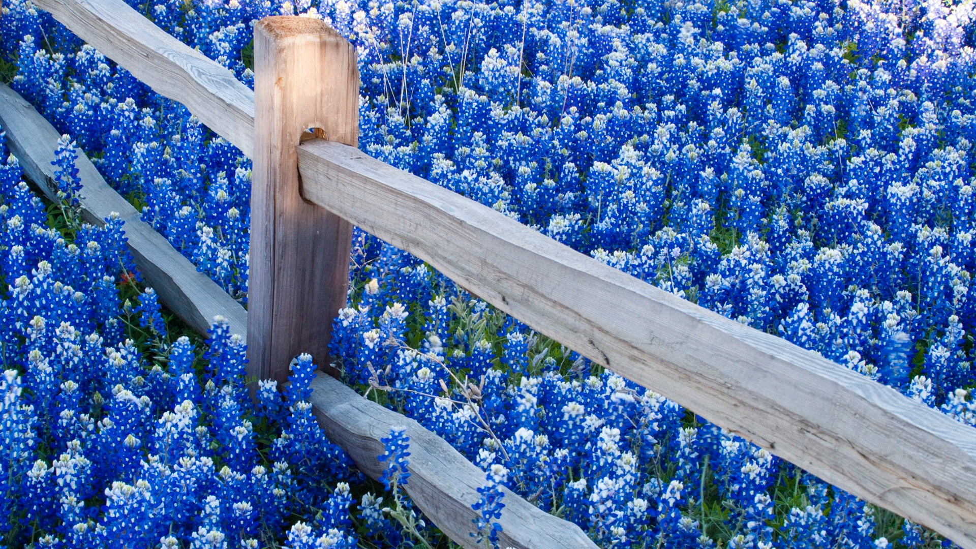 Texas Bluebonnets Wallpaper, Background, Image