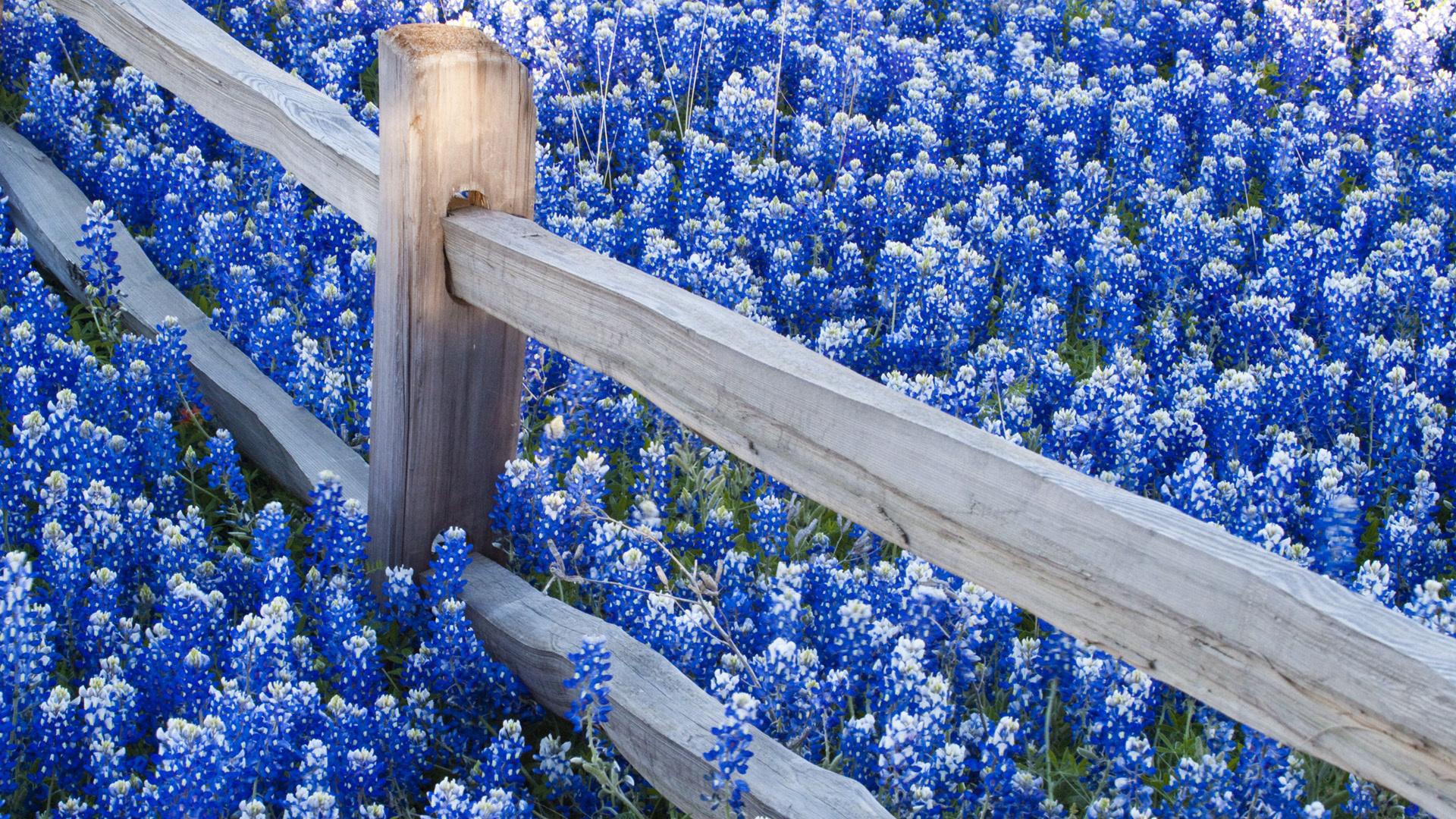 texas bluebonnets wallpaper