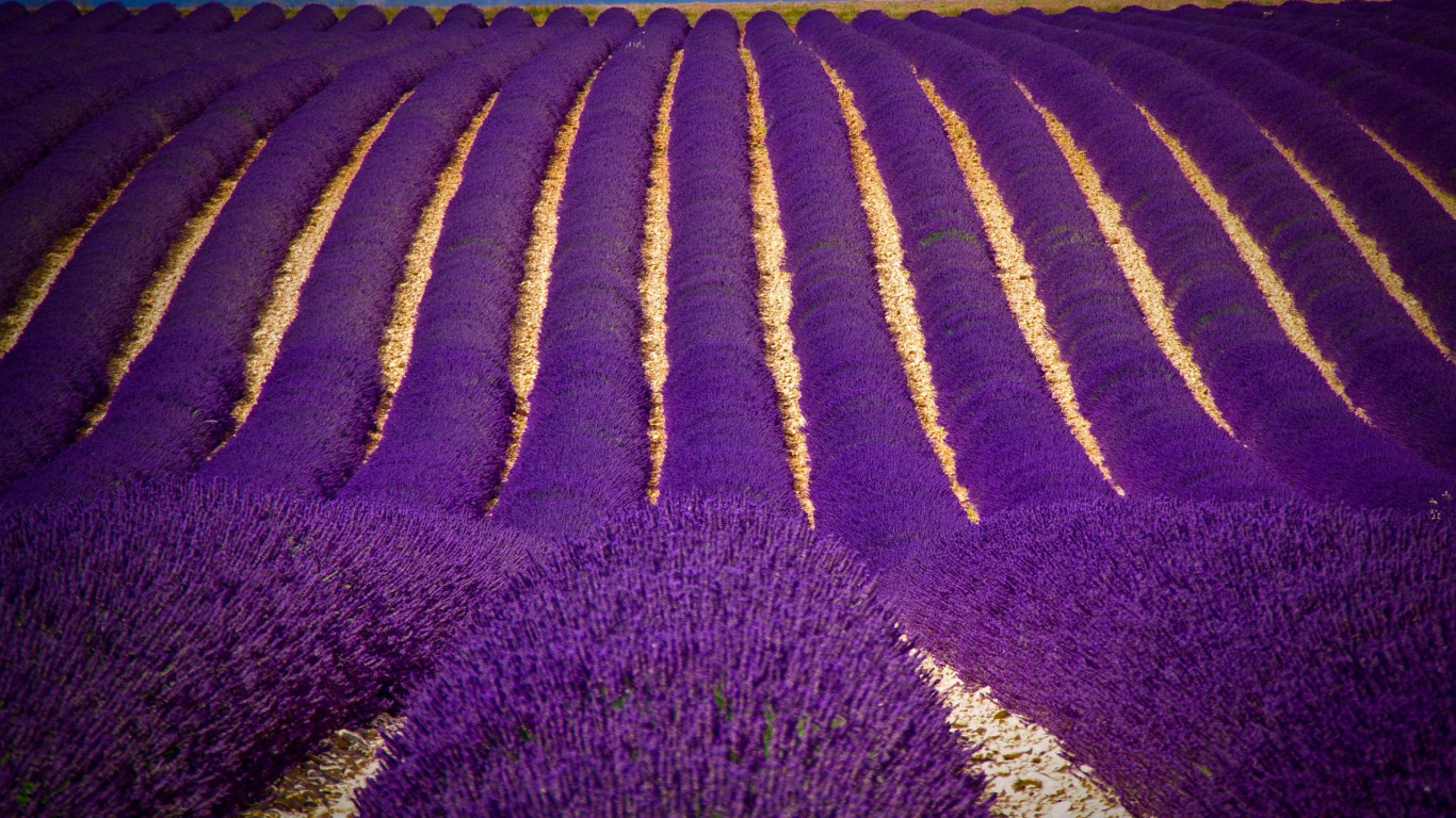 Vast Lavender Field Background