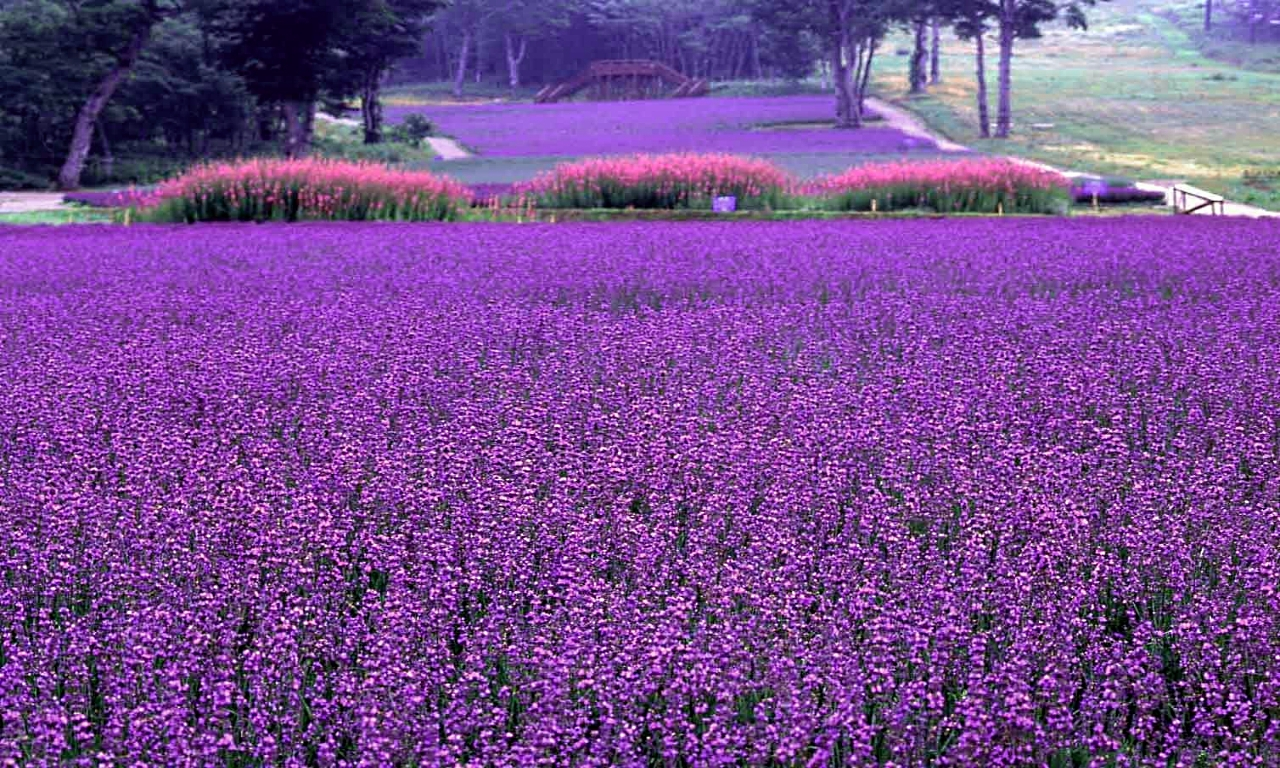 Large Fields of Lavender