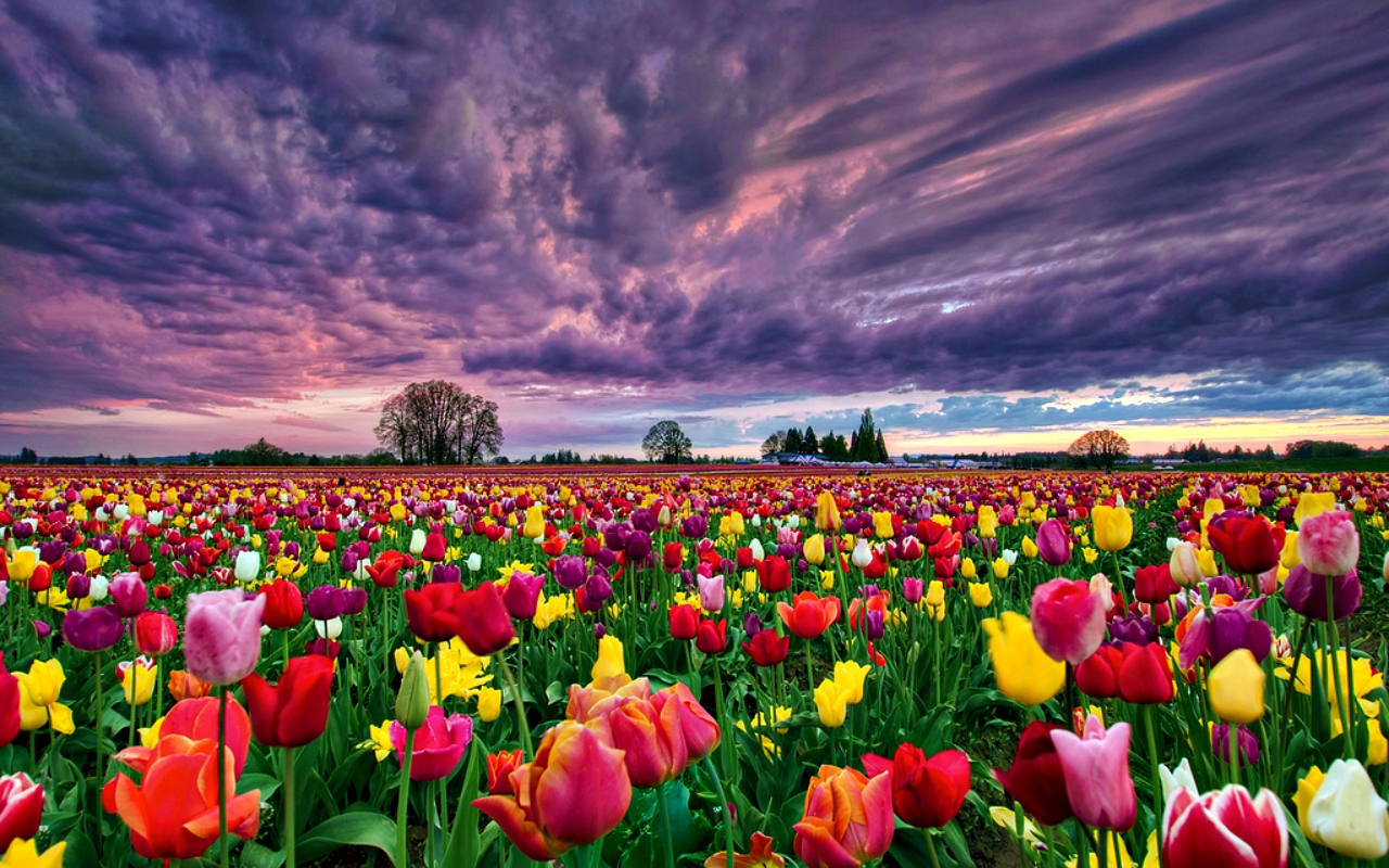 Vast Tulip Field Background