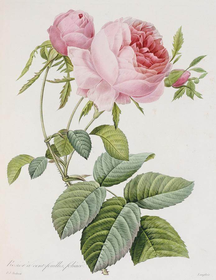 Pritty Pink Rose Painting