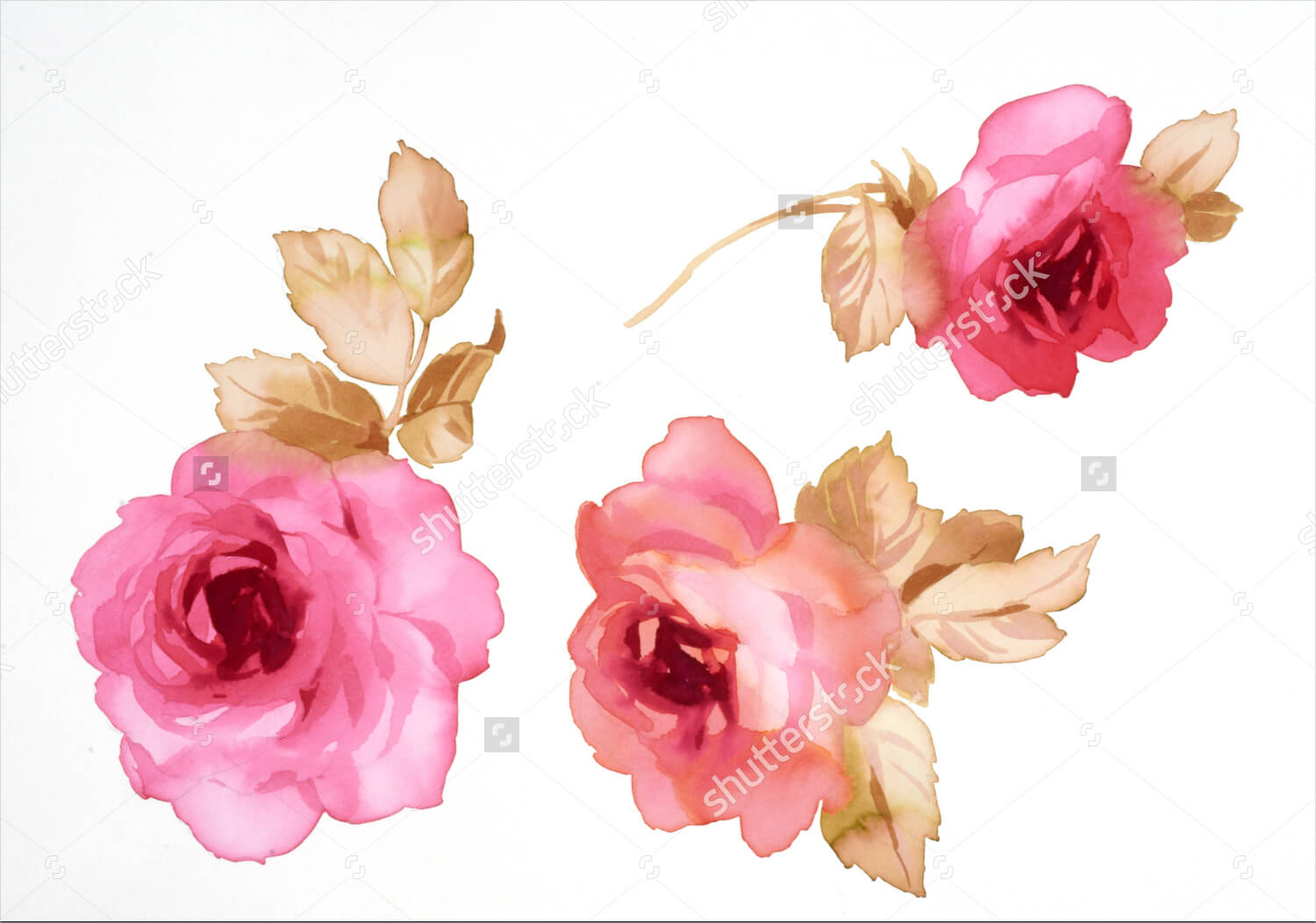 Illustration of Rose Watercolor Painting