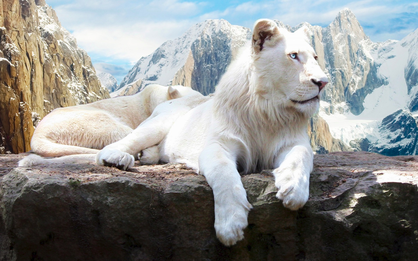 Snow Lion Animal Wallpaper