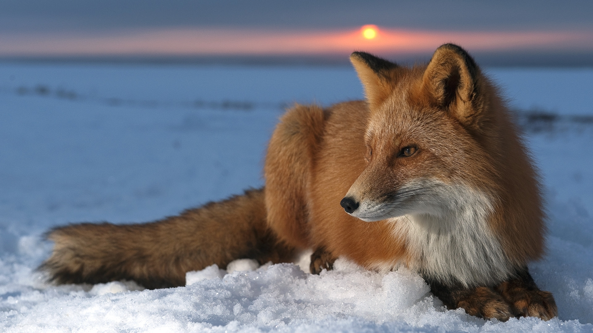 Fox Wallpaper with Snow Background