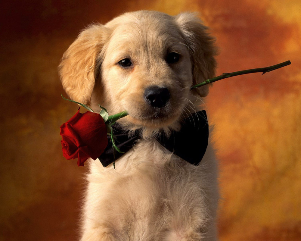 pretty dog with red rose background1