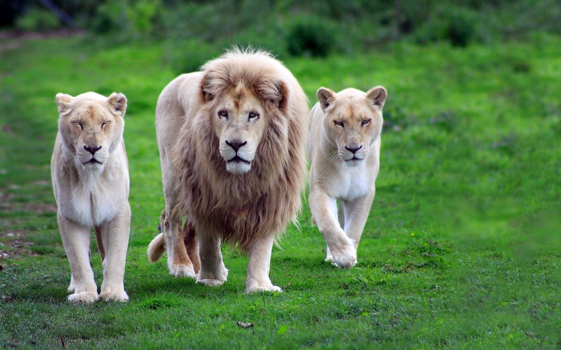 White Lion Family Animal Background