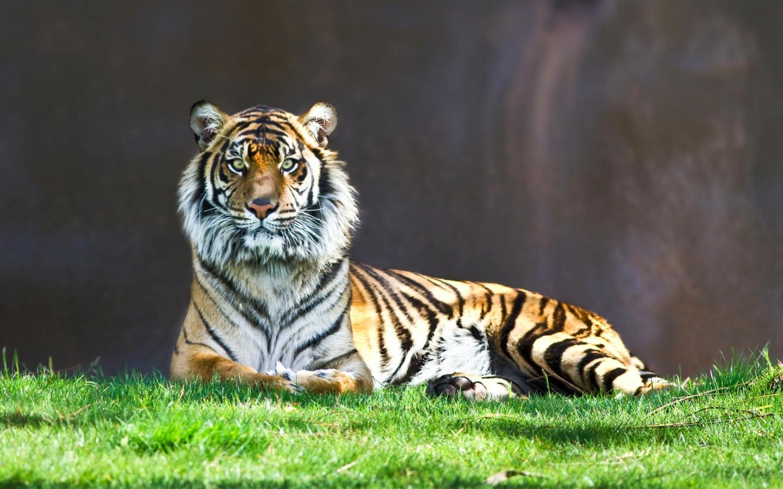 Tiger Animal Wallpaper Full Size