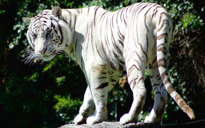 Rare White Tiger Wild Animal Wallpaper