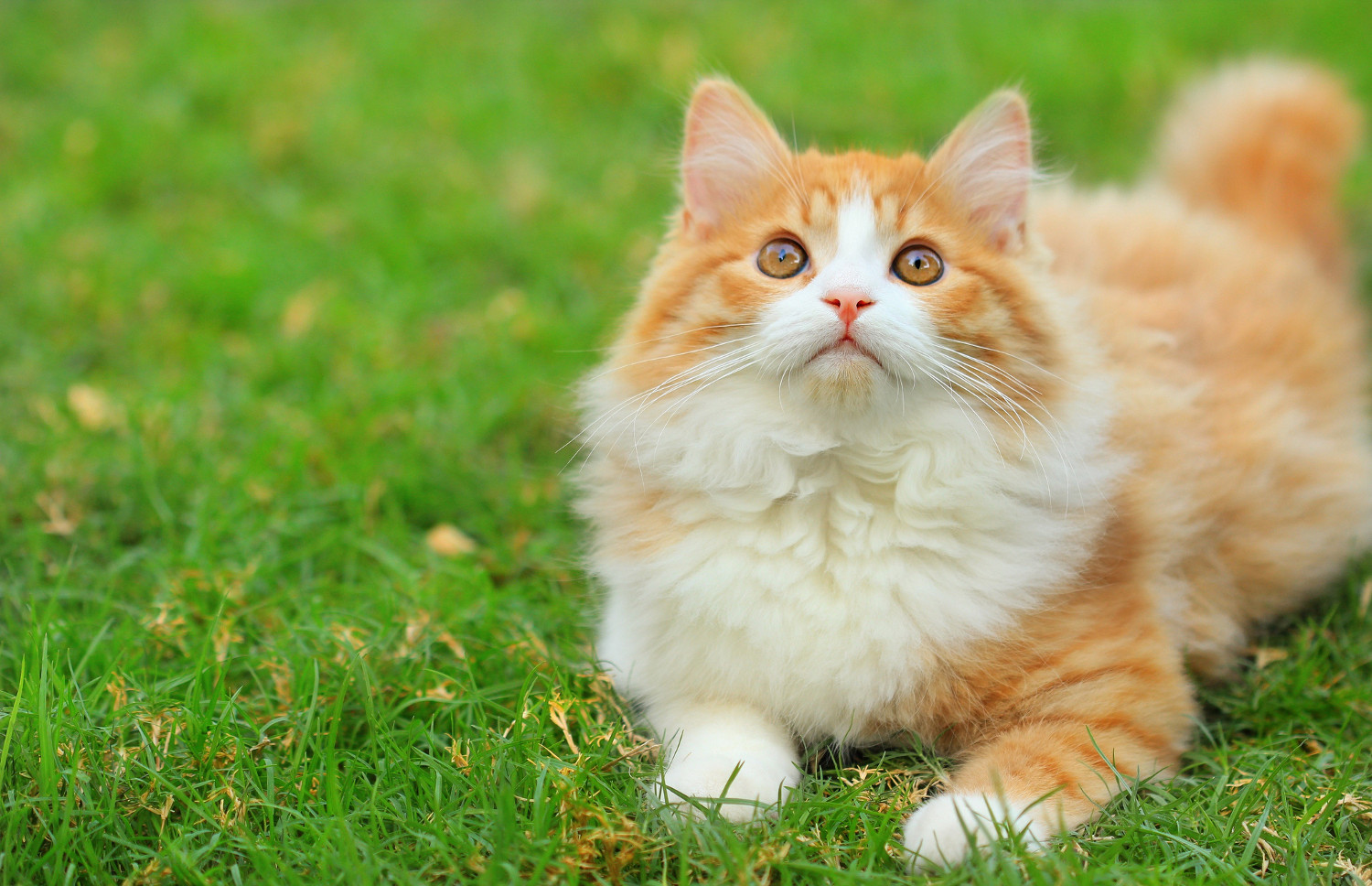 Fluffy Cute Cat on Grass Animal Screensaver