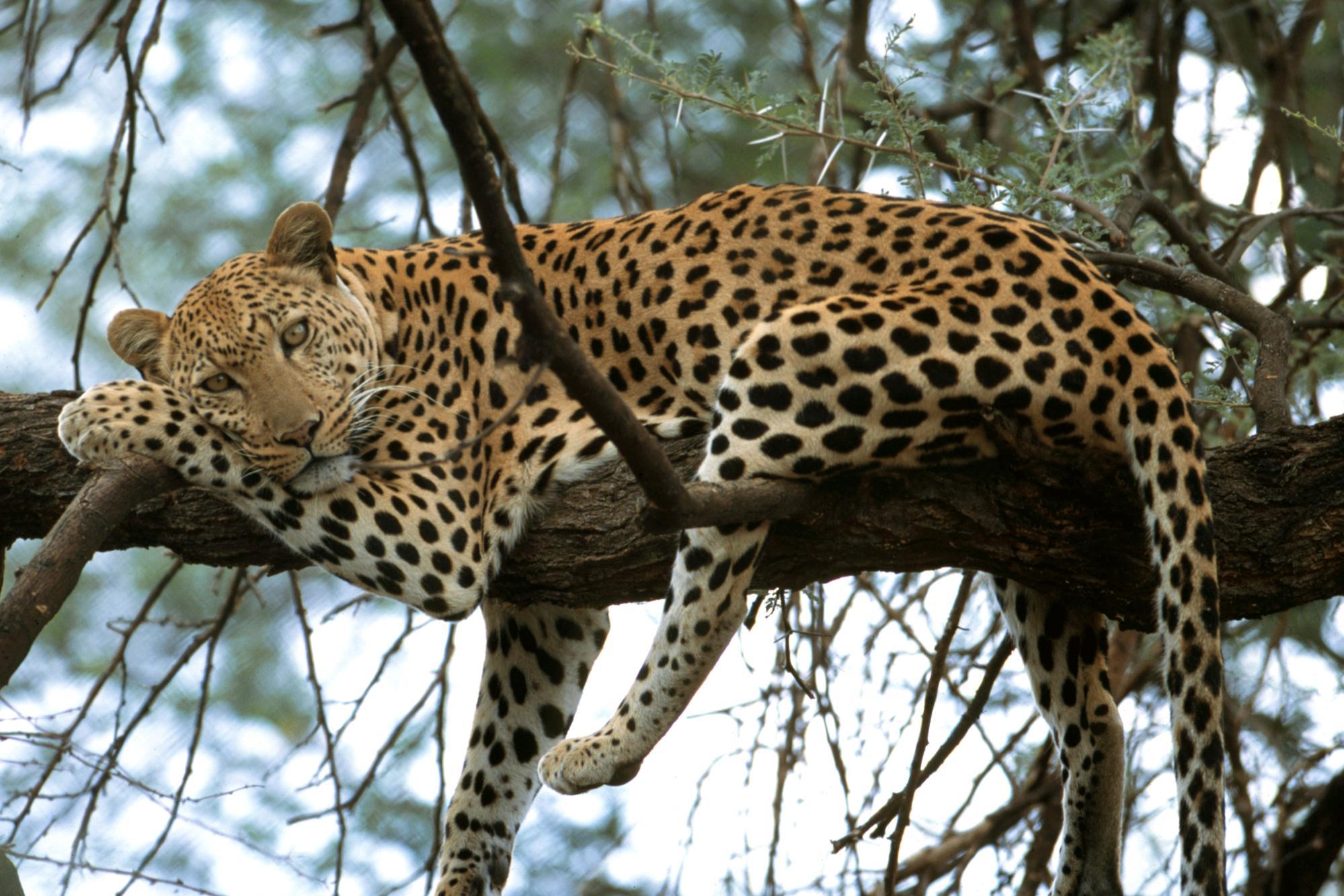 Leopard on Tree Animal Wallpaper