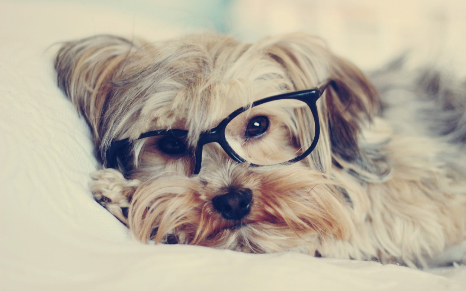 Dog with Glasses HD Animal Wallpaper
