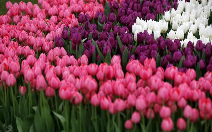 65218560_Tulips-ar_3310321k