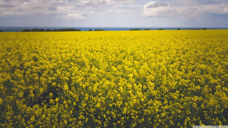 Yellow Canola Field Background