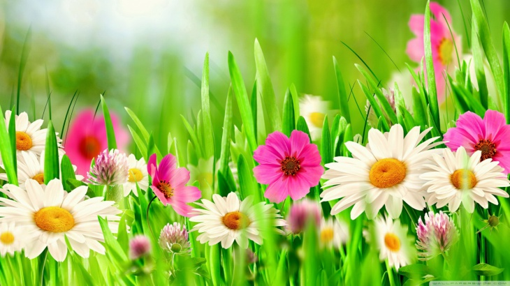 Spring Daisy Flower Background