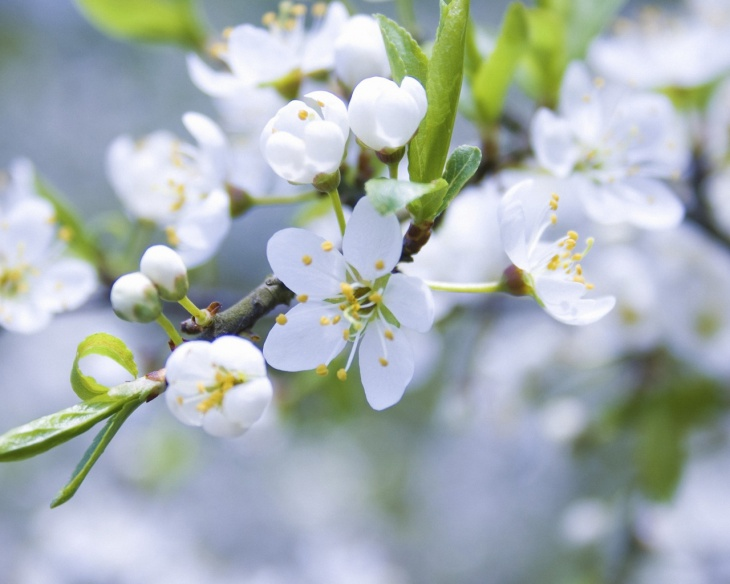 Apple Spring Flowering Wallpaper