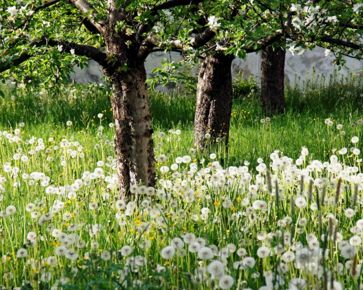 Dandelions Apple Trees Glade Wallpaper