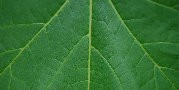 Papaya Leaf Texture